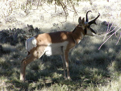 picture of an antelope