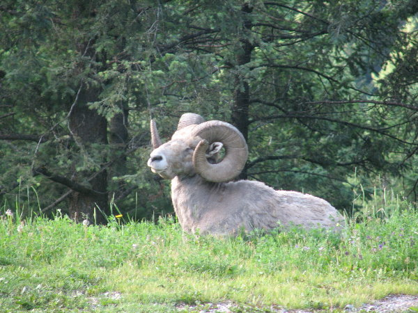 picture of a long horn ram