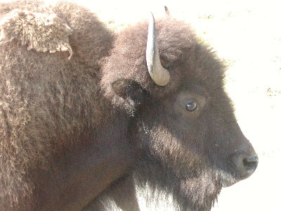 picture of bison (close up)