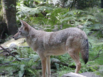 picture of coyote