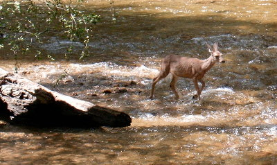picture of a deer in stream