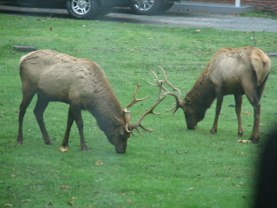 picture of elk eating grass