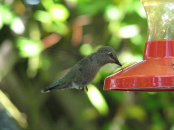 picture of a hummingbird feeding
