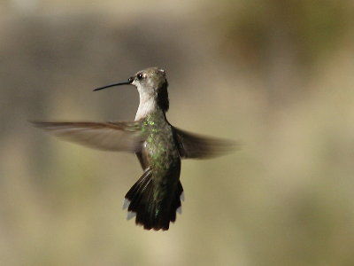 picture of a hummingbird