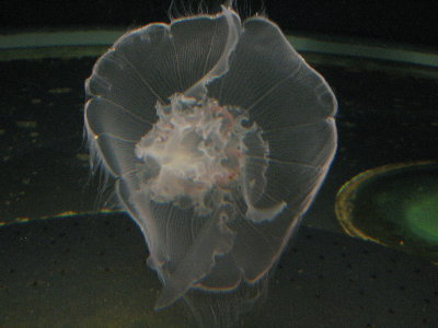 picture of a jellyfish