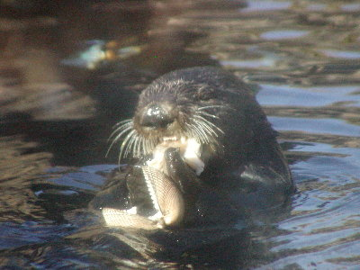 picture of an otter