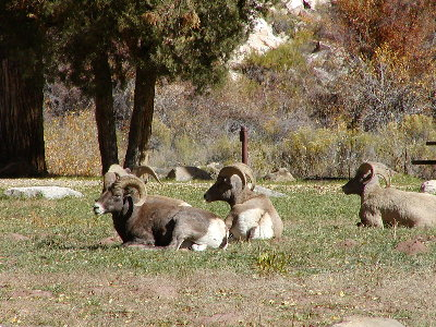 picture of a group of long horn rams